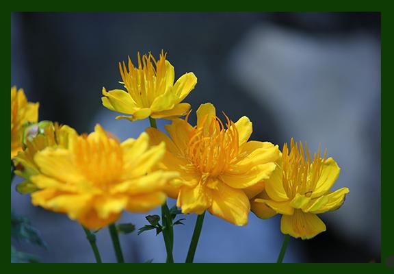 Flower Ola 4